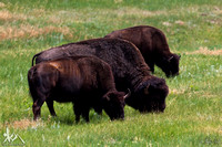 Three Buffalo